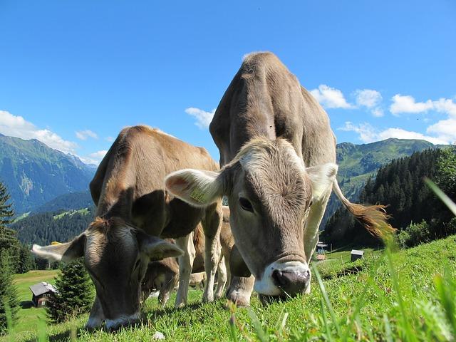 krávy v Rakousku