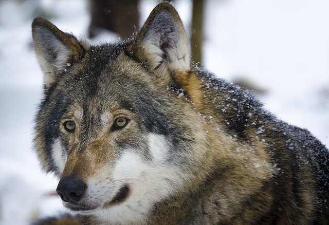 samice vlka