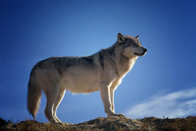 vlk na skále